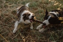 Счастливый пятнистый пограничный колли собаки грызут палку, играя вместе на сухой траве — стоковое фото
