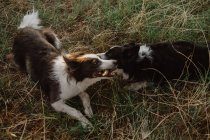 Happy patchy Border Collie chiens rongeant bâton tout en jouant ensemble sur l'herbe sèche — Photo de stock