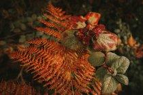 Sombra nocturna mortal bayas negras tóxicas sobre la hoja de helecho naranja en el bosque de otoño - foto de stock