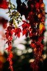 Rama otoñal con hojas naranjas de color rojo brillante en contraste con la luz del sol y la sombra en la naturaleza - foto de stock