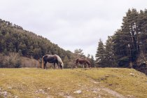 Healthy horses grazing at lawn by evergreen trees at idyllic valley — Stock Photo