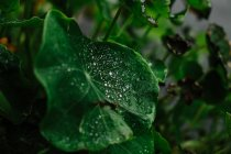 Close-up of wet green leaves with water droplets after rain on forest floor — Stockfoto