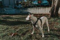 Happy Amstaff chien au harnais passer du temps dans la rue ensoleillée — Photo de stock