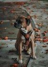 Бытовая собака-боксер осенью сидит на улице — стоковое фото