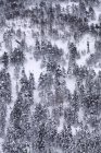 Pine forest covered with snow and ice in a misty landscape in the North of Spain Mountains — Stock Photo