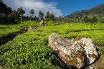 Сценічний вигляд чудових зелених чайних полів у Хапуталі (Шрі - Ланка). — стокове фото