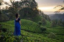 Обратный вид женщины в синей традиционной одежде, смотрящей в сторону, стоя на чайных лугах в Хапутале на Шри-Ланке — стоковое фото