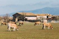 Paisagem de pastagem de gado doméstico em pastagem verde na fazenda no verão — Fotografia de Stock