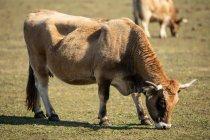 Pastagem de gado doméstico em pastagem verde na fazenda no verão — Fotografia de Stock