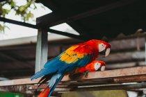 Desde abajo de grandes loros guacamayos con plumas rojas anaranjadas y azules en valla metálica en zoológico - foto de stock