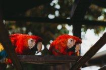 Grandes loros exóticos de colores en el zoológico - foto de stock