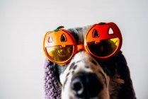 Cute dog in halloween glasses under warm blanket — Stock Photo