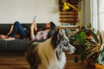 Милий пухнастий Коллі дивиться на зелену насадку, стоячи на розмитому фоні власника чоловічої статі вдома. — стокове фото