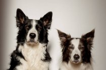 Graves perros de raza pura blancos y negros mirando a la cámara mientras están sentados en el suelo de madera contra la pared gris - foto de stock