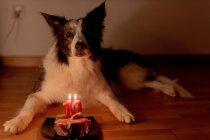 Calm Border Collie perro recibiendo carne cruda de cumpleaños con velas encendidas en el plato mientras está acostado en el suelo en la habitación con las luces apagadas - foto de stock