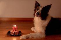 Vista lateral de la calma Border Collie perro recibiendo carne cruda de cumpleaños con velas encendidas en el plato mientras está acostado en el suelo de la habitación con las luces apagadas - foto de stock