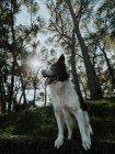 Curioso Border Collie cão em pé no canteiro de flores perto da calçada no parque ensolarado — Fotografia de Stock