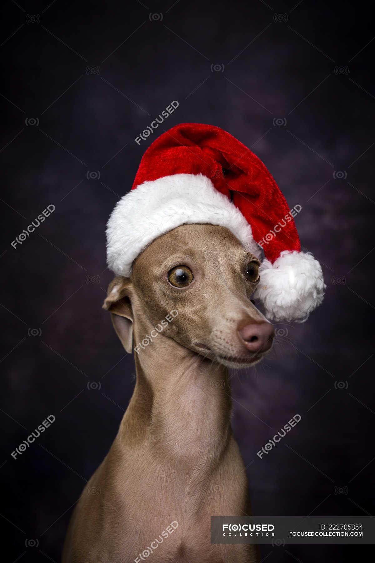 Greyhound /& Galgo Santa Hat