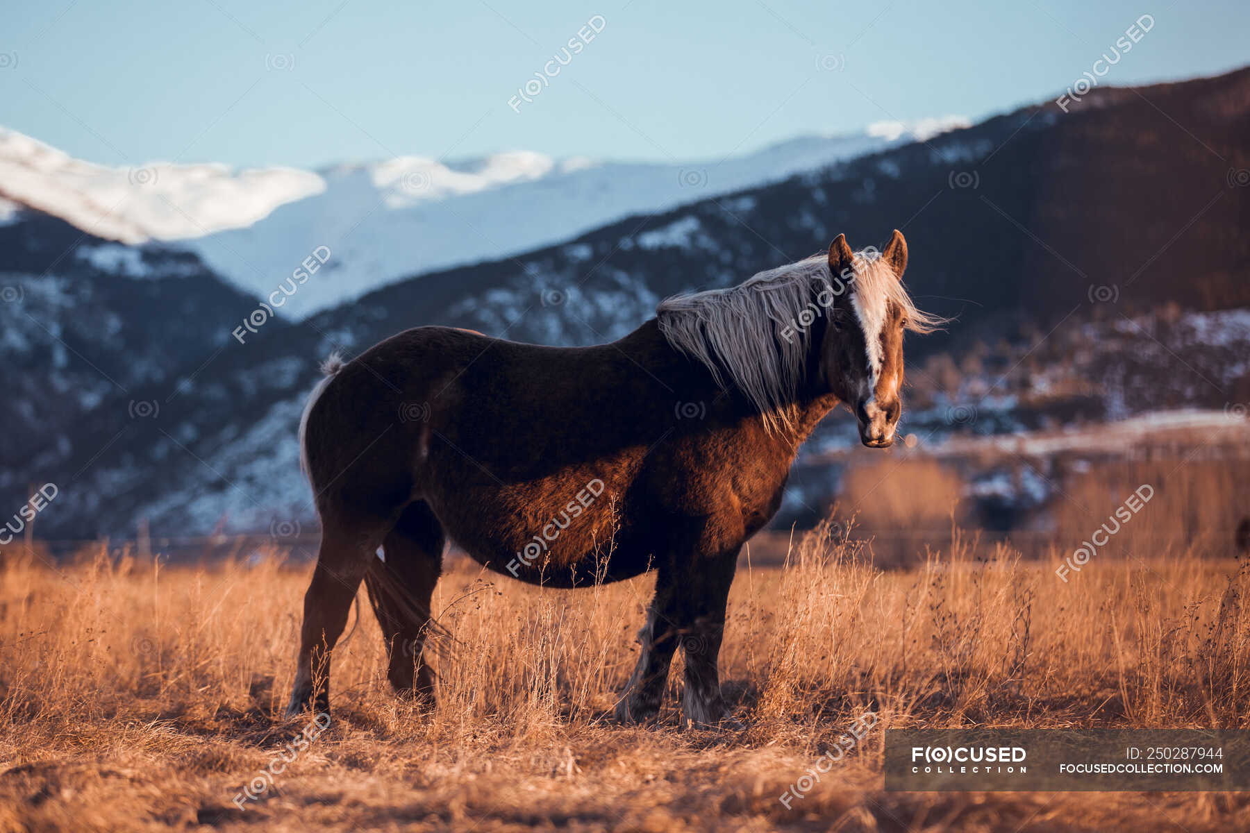 Side View Of Beautiful Horse Pasturing On Meadow Between Mountains At Sunset In Cerdanya France Stallions Equine Stock Photo 250287944