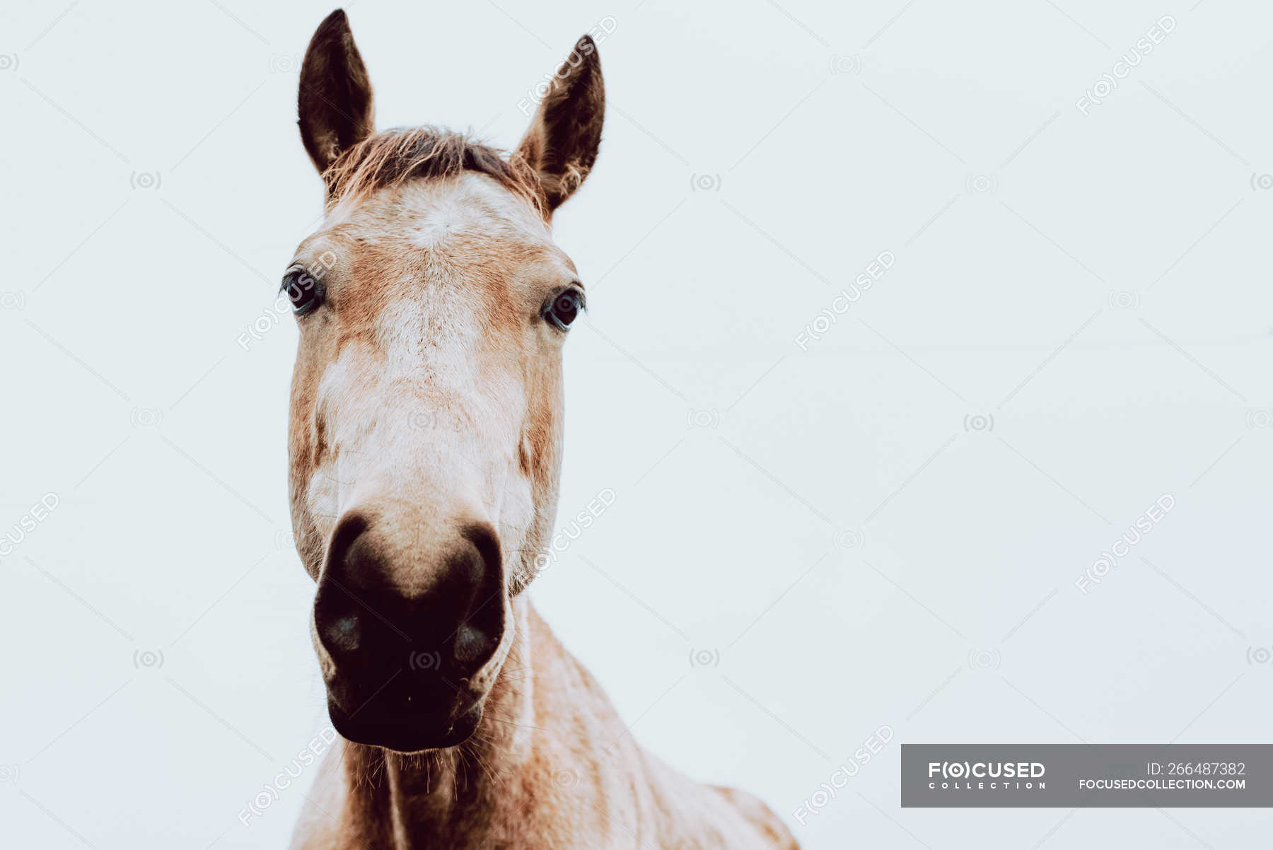 Close Up Of Horse On White Background Looking At Camera Graze Close Up Stock Photo 266487382