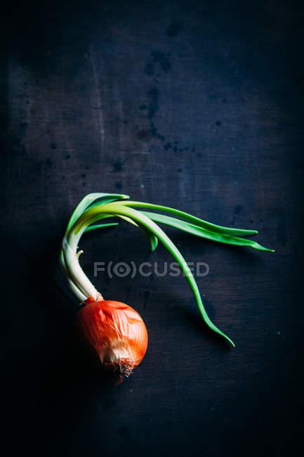 Green onion on dark — Stock Photo