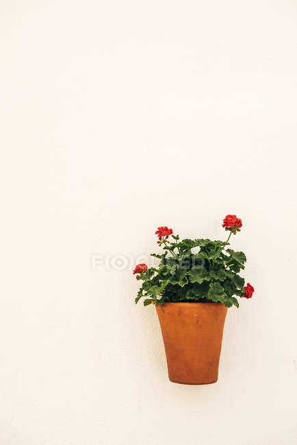 Maceta y hermosas flores en la pared - foto de stock