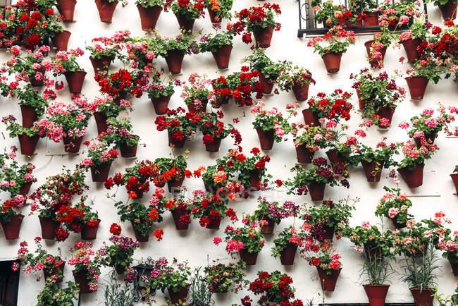 Panelas com flores coloridas — Fotografia de Stock