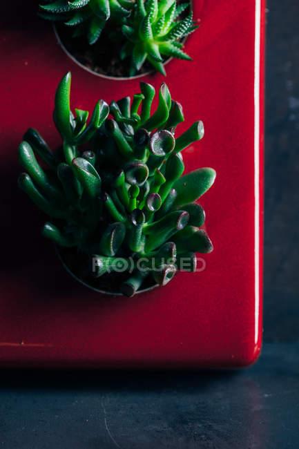 Aloe-Pflanze in Schalen — Stockfoto