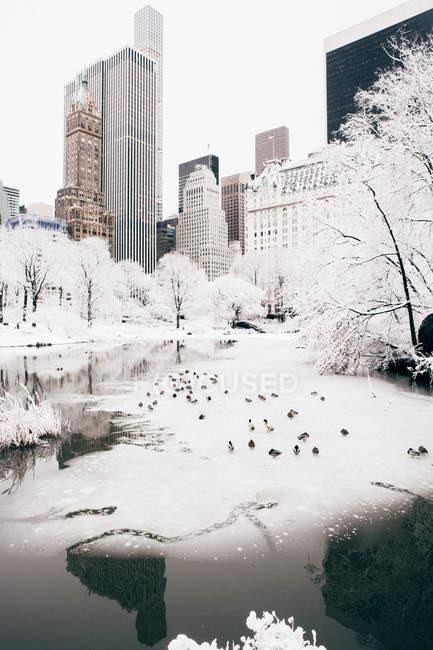 Palomas en el lago Central Park - foto de stock