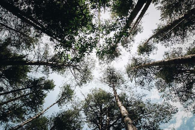 Topos de árvores vistas de baixo — Fotografia de Stock
