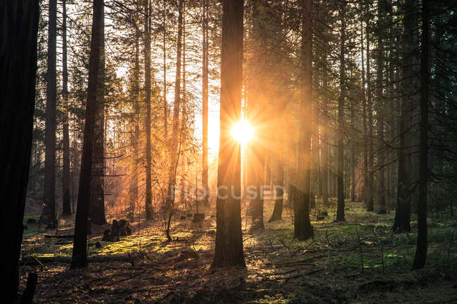 Sunbeams through trees in woods — Stock Photo