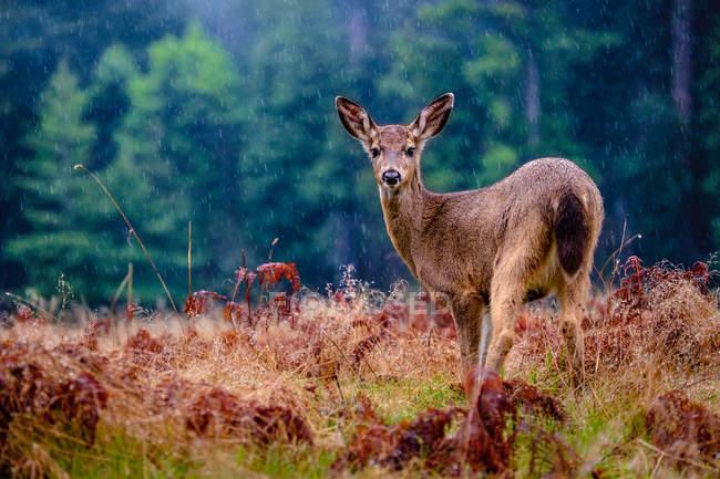 Deer in rain on plain — Stock Photo