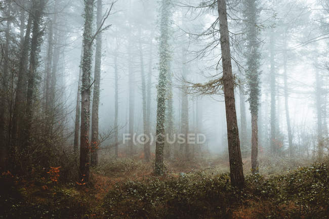Mist in coniferous woods — Stock Photo