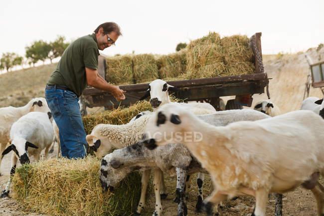 Erwachsener Mann überträgt Heu für Schafe, während sie Juckreiz essen. — Stockfoto