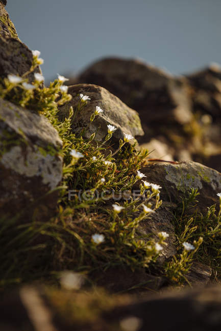 Petites fleurs qui poussent sur les rochers — Photo de stock
