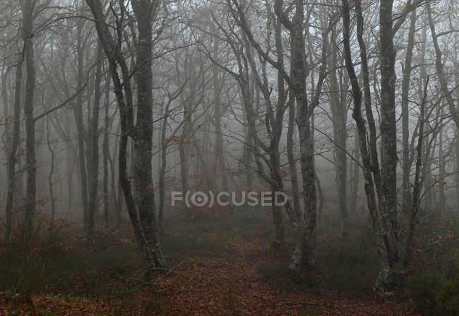 Bosque de niebla oscuro - foto de stock
