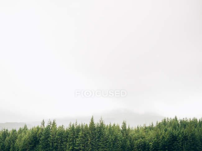 Fir trees over foggy sky — Stock Photo