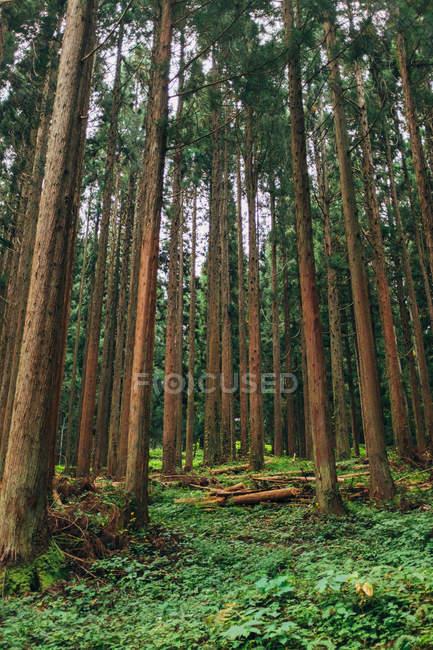 Высокий сосновый лес — стоковое фото