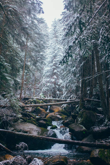 Coniferous winter forest with rocky river — Stock Photo