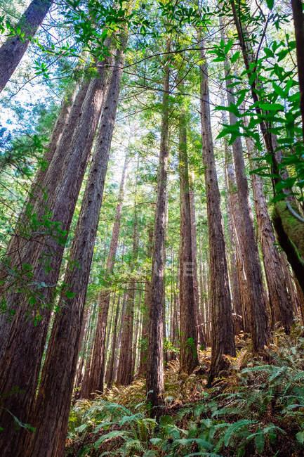 Foresta di sequoie nel Parco nazionale — Foto stock