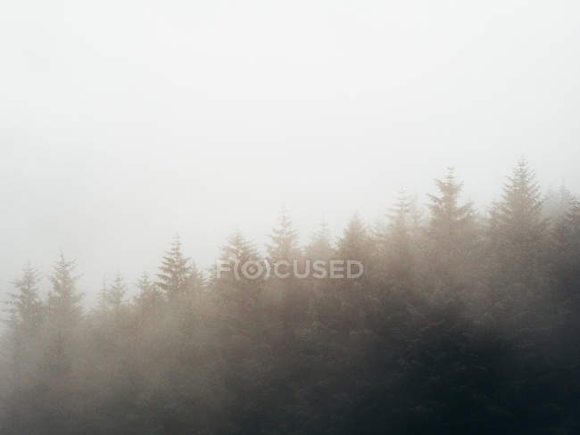 Abetos oscuros - foto de stock