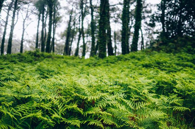 Campos de samambaias na floresta — Fotografia de Stock