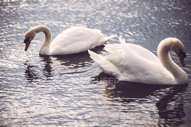 Zwei weiße Schwäne schwimmen im See — Stockfoto