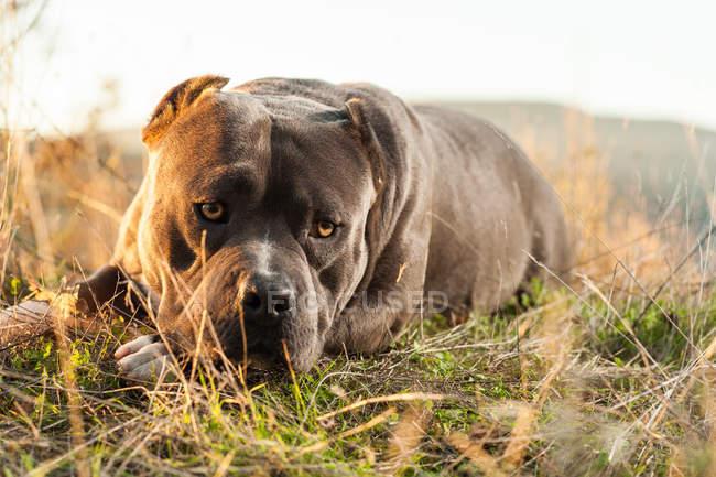 Traurige amerikanische Bulldogge liegt auf Gras — Stockfoto
