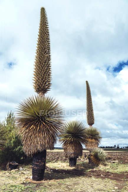 Высокий эндемик Пуйя Раймонди над ярким облаком — стоковое фото