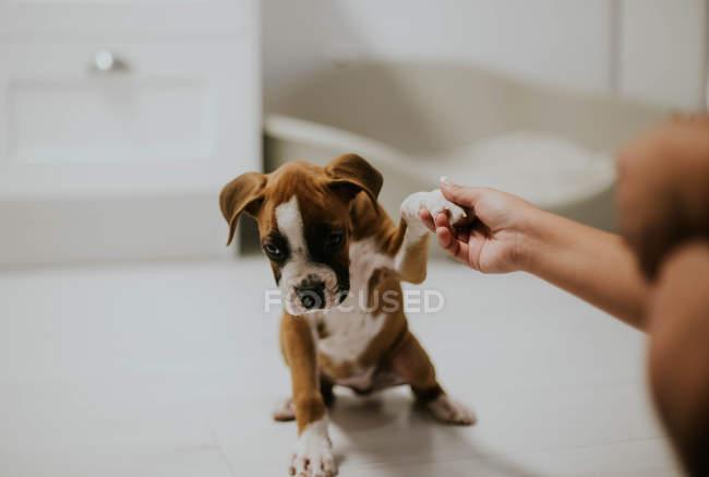 Урожай рука холдингу цуценя paw — стокове фото