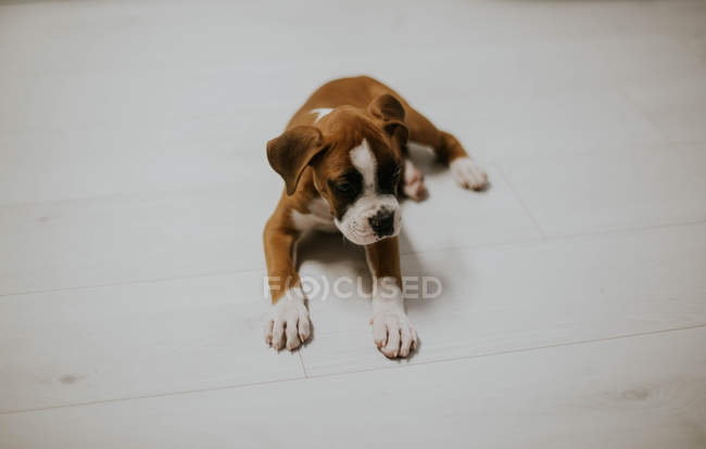 Portrait of cute brown puppy with white paws on floor at home — Stock Photo