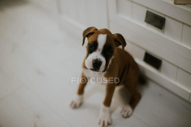 Cute brown puppy with white paws sitting on floor at home — Stock Photo