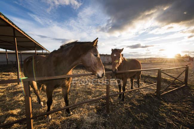 Due cavalli che camminano in pascolo chiuso in campagna sopra cielo nuvoloso panoramico — Foto stock