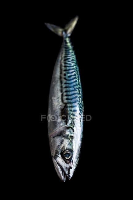 Fresh mackerel fish on black background. — Stock Photo